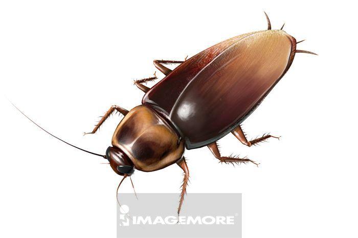 蟑螂,动物,