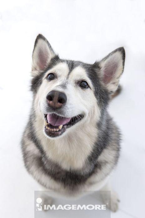西伯利亚哈士奇,狗,