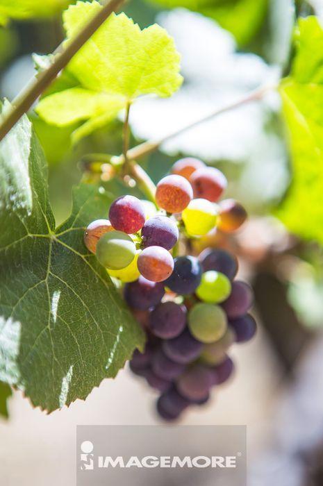 葡萄,葡萄园,