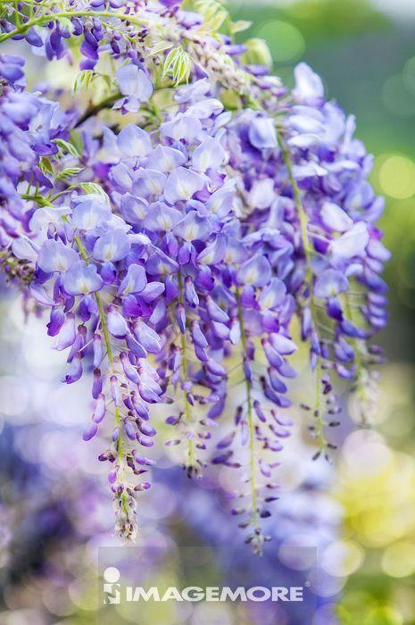 紫藤,花,