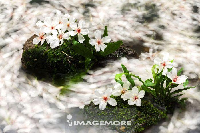 油桐花,花,