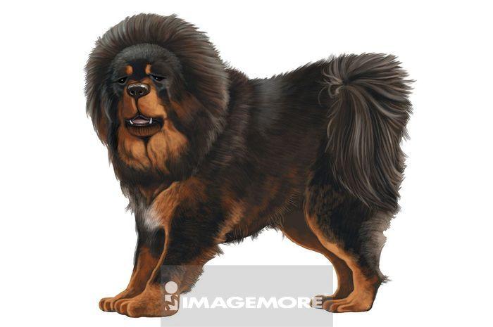 脊椎动物,一只动物,整只,宠物,狗,小狗,幼犬,玩赏用小狗,藏獒,可爱,毛
