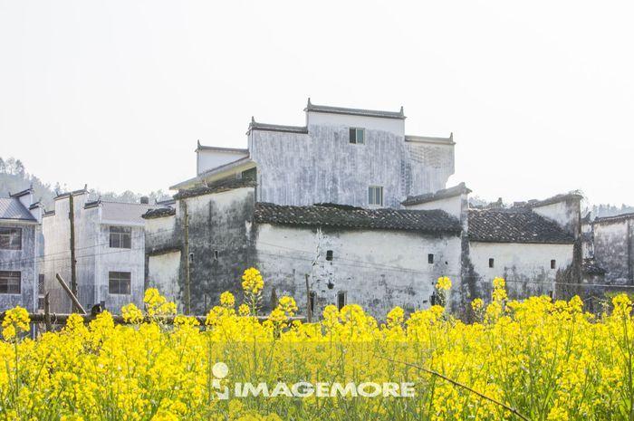 油菜花,思溪延村,婺源,江西省,中国,