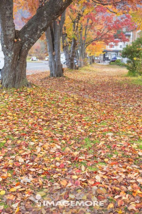 日本青森县的公园 满地落叶
