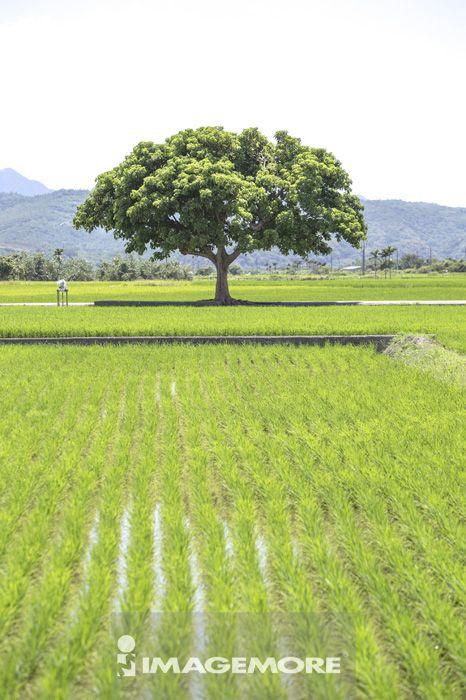 金城武树,稻田,水稻田,台东,台湾,亚洲,