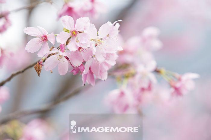 樱花,春天,