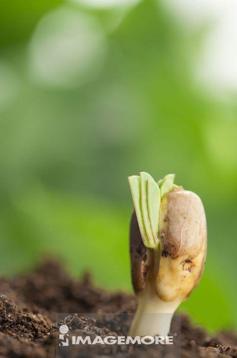 幼苗,植物,