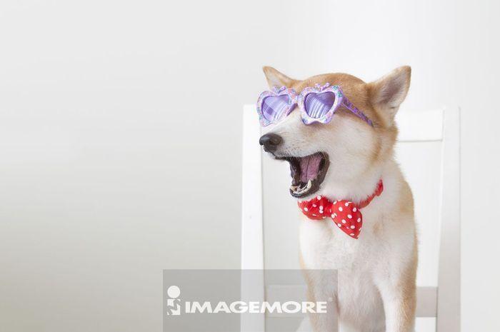 可爱柴犬超清壁纸