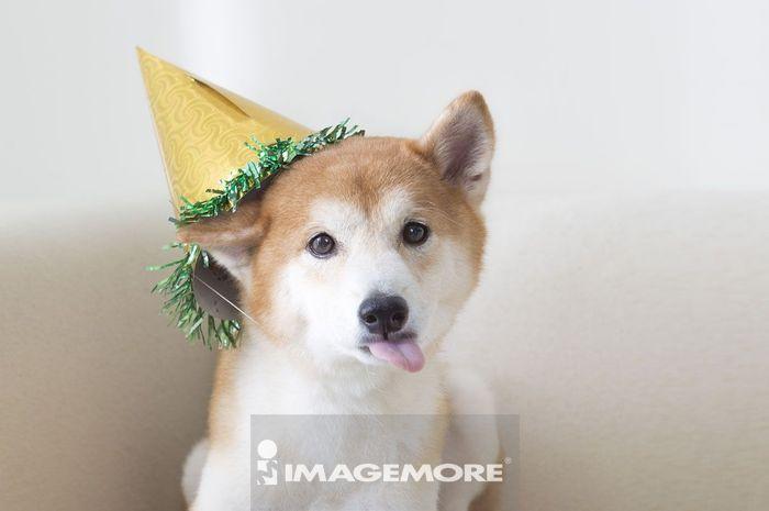 新年,春节,狗年,柴犬,