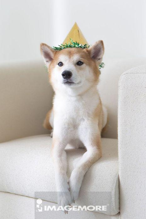 柴犬,趴躺,侧面,看旁边,看,沙发,生日,纪念日,派对,宴会尖帽子,可爱