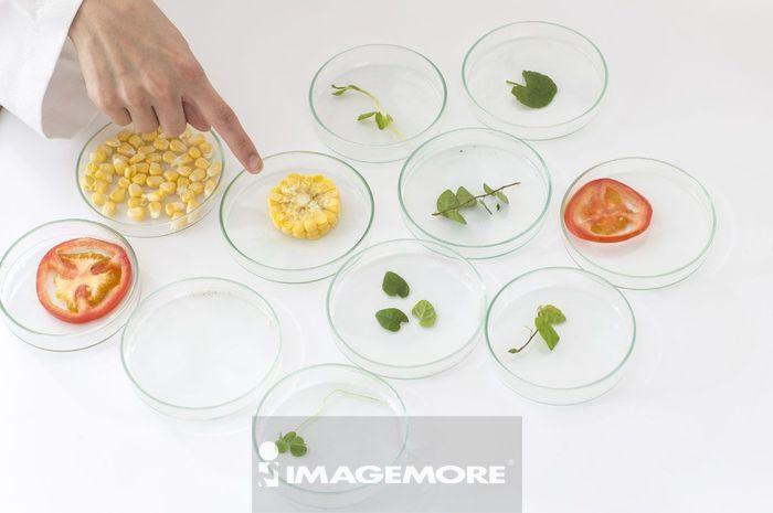 一位女性科学家指向皮氏培养皿里面的玉米