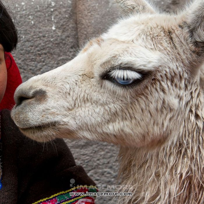 Close-up of llama (Lama glama), Cuzco, Peru