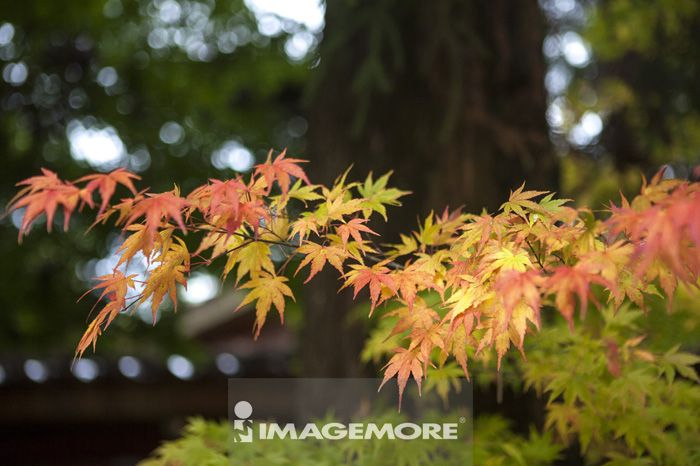 枫叶,秋天,