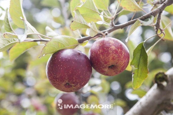 水果,苹果,苹果园,