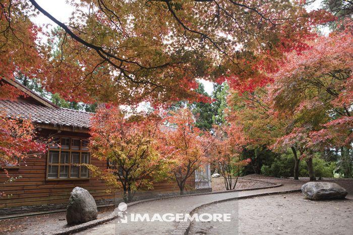 枫叶,枫树,秋天,庭园造景,