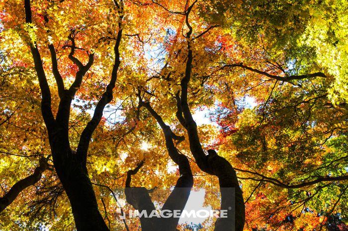 枫叶,枫树,秋天,