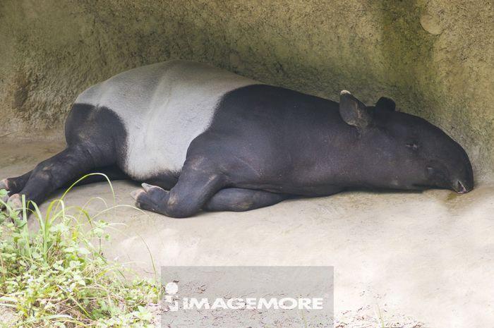 马来貘,动物,台北,台湾,亚洲,