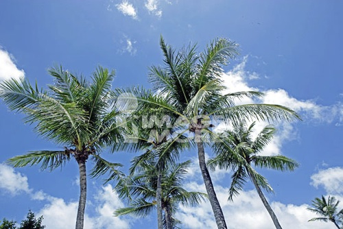 Coconut trees, Tumon beach, Tumon Bay, Guam