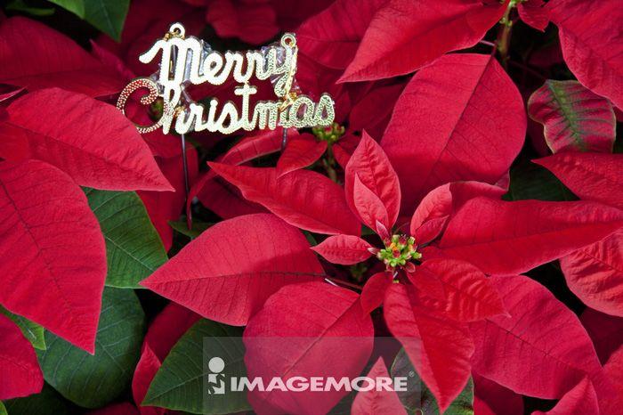 圣诞节,圣诞红