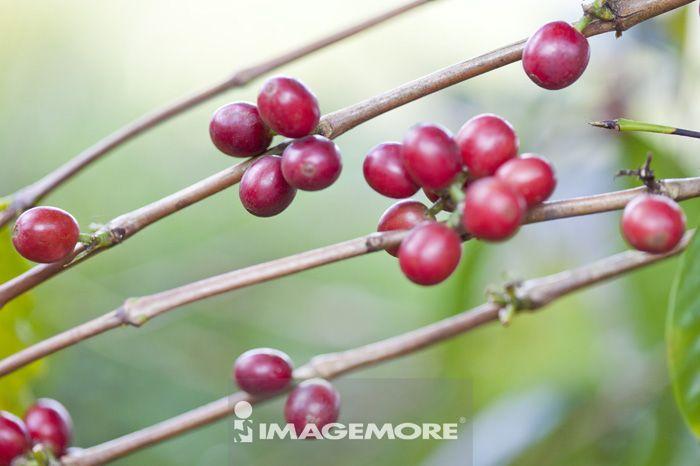 咖啡豆,咖啡树,