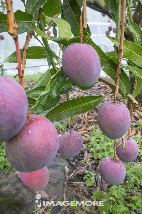 芒果,水果,果园,果树