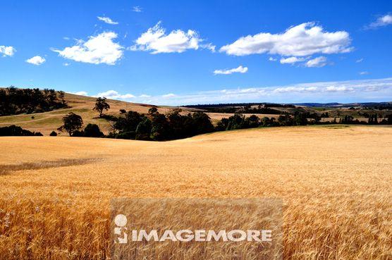 澳大利亚,塔斯马尼亚,大麦田园