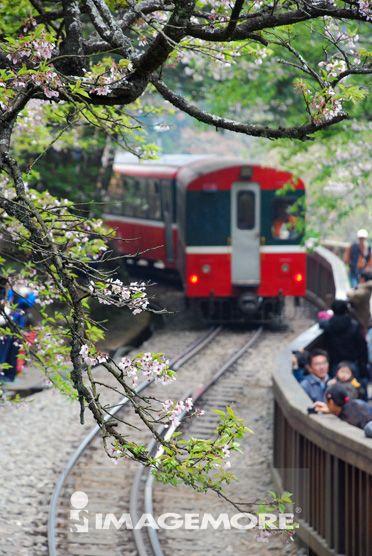 阿里山,樱花,樱花祭,高山火车,