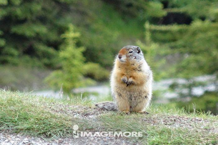 加拿大,湖畔,松鼠
