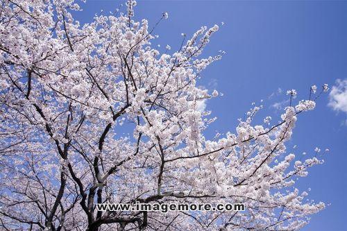 花,樱桃,亚洲人,风景,公园,自然,树,春天,植物,日本,开花,ps系列,apa0
