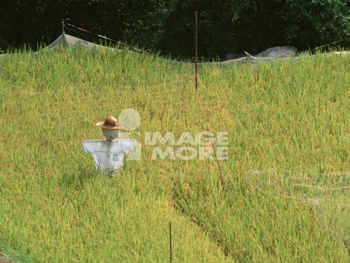 Scarecrow in a rice paddy