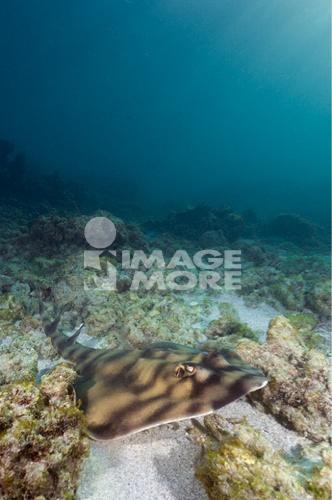 Banded guitarfish (Zapteryx exasperata) underwater, Sea of Cortez, Baja California, Mexico