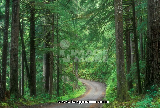 Road passing through a forest, North Fork Quinault River Trailhead, Olympic  Forest, Washington State, USA