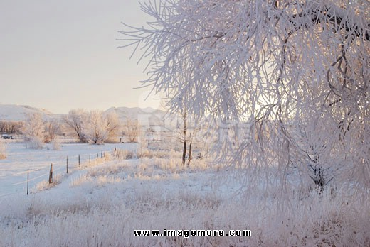 Trees covered with frost, Wyoming, USA