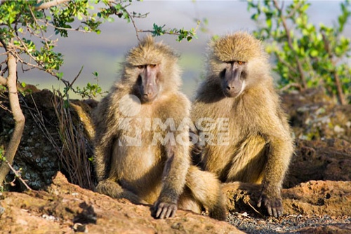 Olive baboons Papio cynocephalus anubis grooming in evening sun on Baboon Cliffs Lake Nakuru  Park Kenya East Africa
