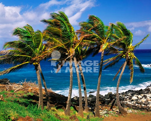 Palms along Kawaehae Coast Lapakahi State Historical Park Big Island of Hawaii