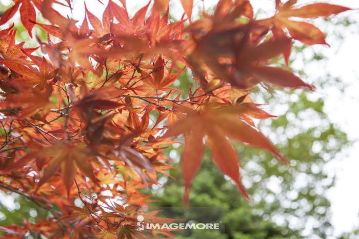 枫叶,日本,亚洲,