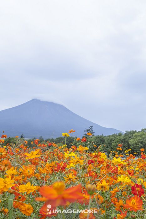 富士山,花卉,静冈县,日本,亚洲,